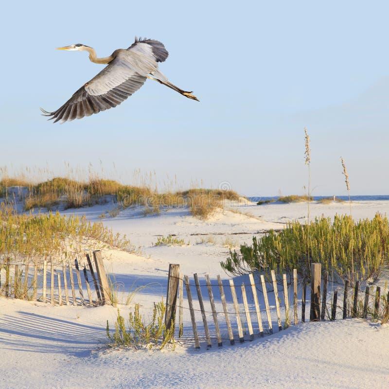 L'airone di grande blu sorvola una spiaggia di sabbia bianca immagine stock