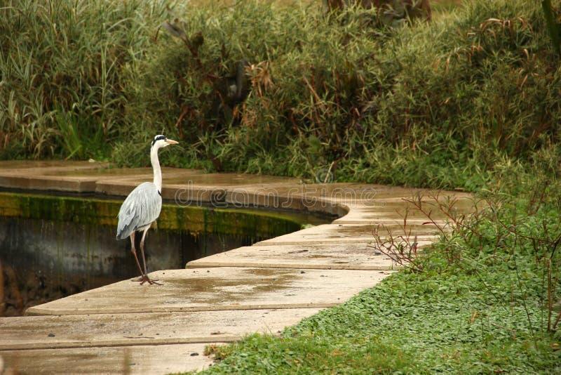 L'airone sta stando dal lato del lago fotografia stock libera da diritti