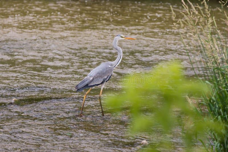 L'airone sta in un fiume e le cacce pescano fotografia stock