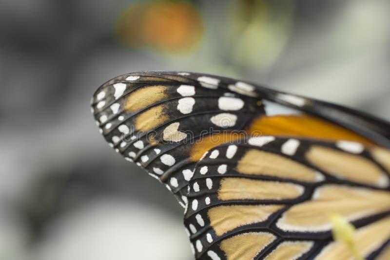 L'ala di Buterfly- vicina su dell'ala del monarca fotografia stock libera da diritti
