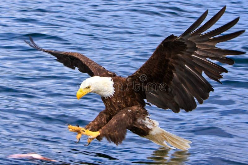 L'Alaska Eagle calvo che attacca un pesce fotografie stock libere da diritti