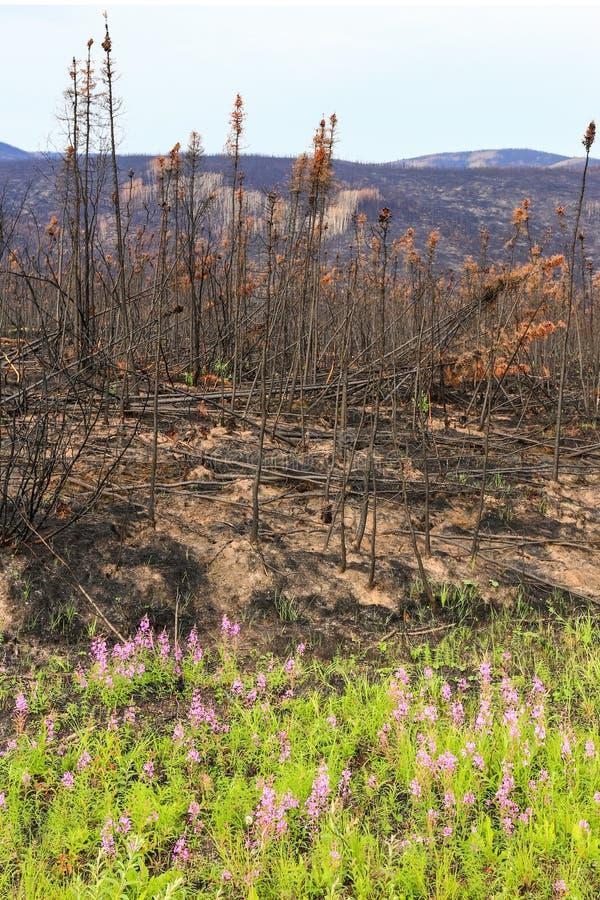 L'Alaska - fleurs sauvages et dégâts causés par le feu photographie stock libre de droits