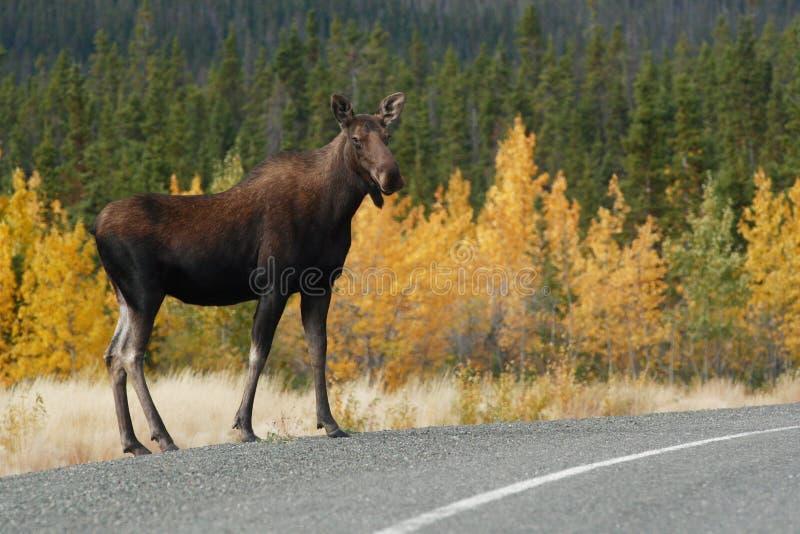 l'Alaska le long des orignaux d'omnibus image stock