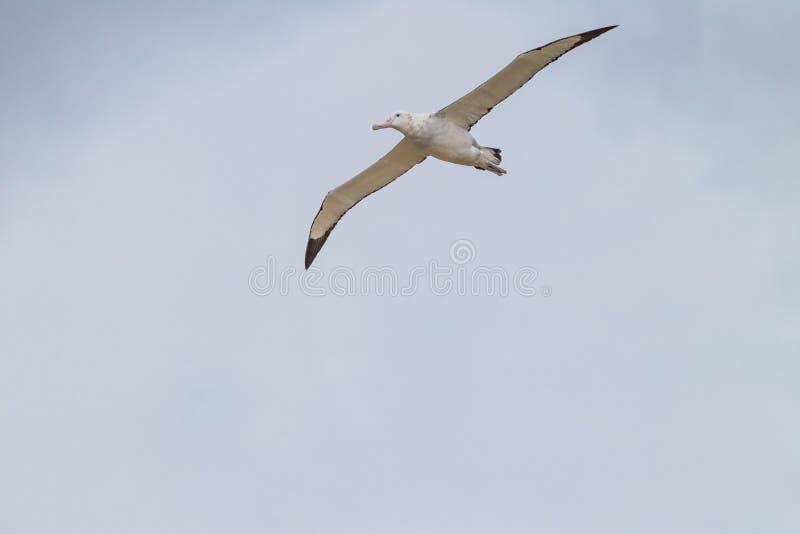 L'albatro di vagabondaggio entra per un atterraggio sull'isola del prione, Georgia del Sud fotografia stock