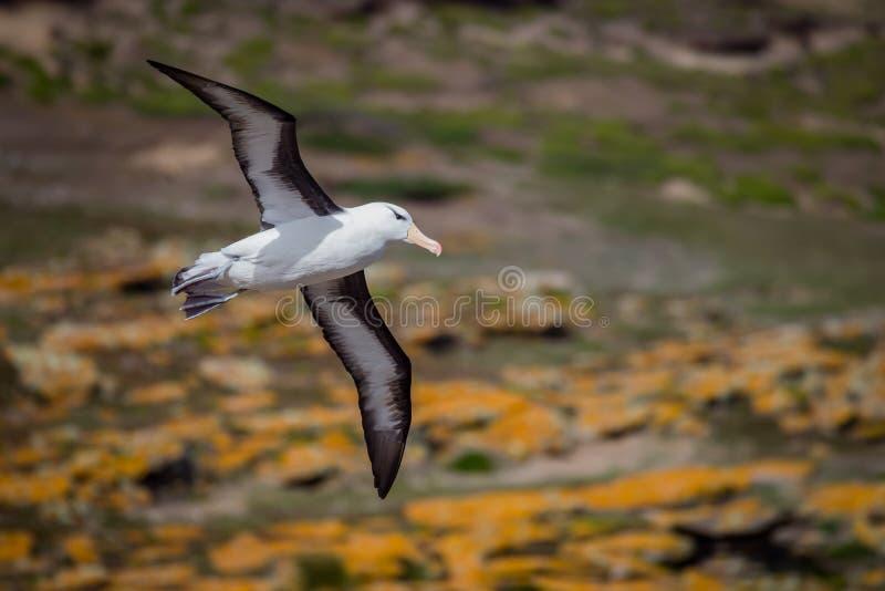 L'albatros browed noir vole au-dessus de Falkland Islands images stock