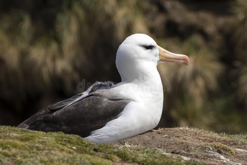 l'albatros Noir-browed se repose sur son nid sur l'île de Saunders, Falkland Islands images stock