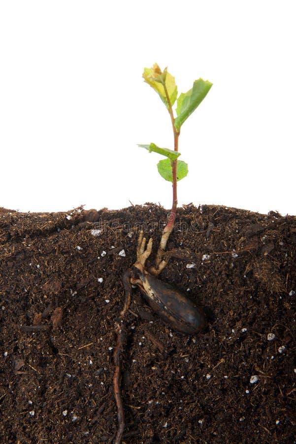 L'alberello della quercia recentemente ha germogliato dal seme, vista ancora allegata di sezione trasversale del seme fotografia stock