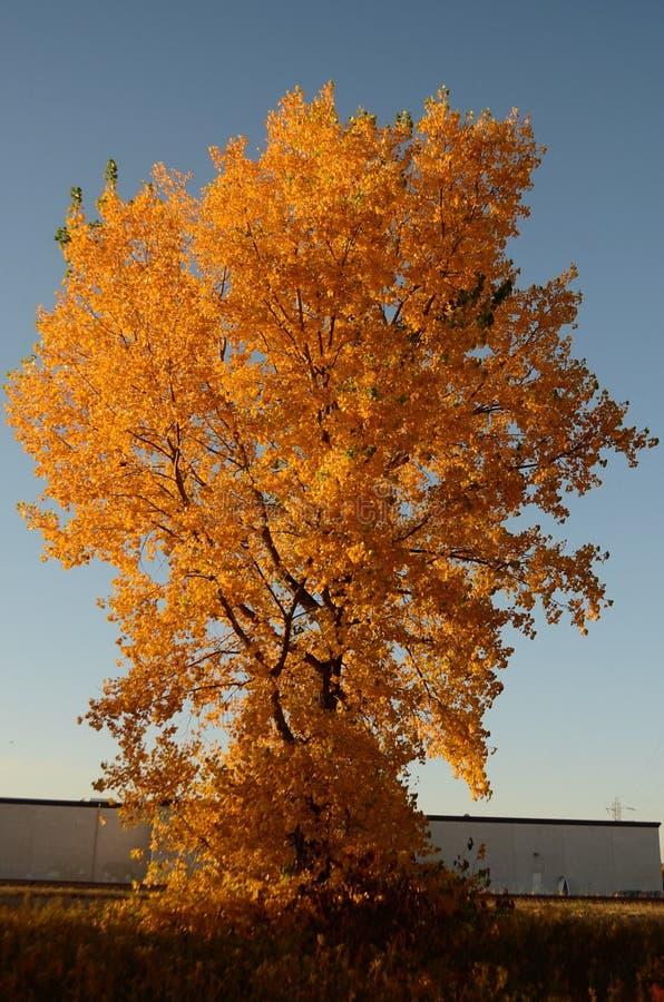 L'albero alto coperto in arancia lascia nell'autunno fotografia stock libera da diritti