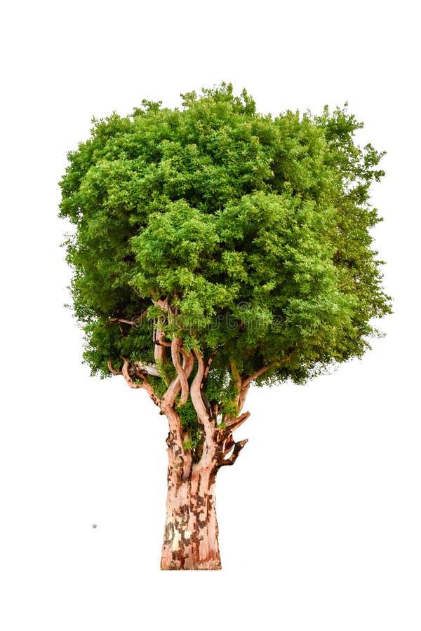 L'albero completamente è separato dal bianco immagine stock