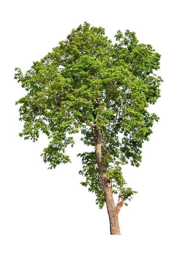 L'albero completamente è separato dal bianco fotografie stock libere da diritti