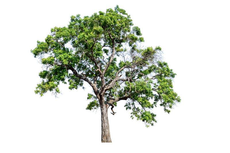 L'albero completamente è separato dal bianco fotografia stock libera da diritti