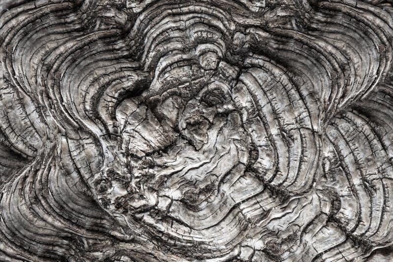 L'albero curativo concavo ed ondulato ha visto il taglio fotografie stock libere da diritti