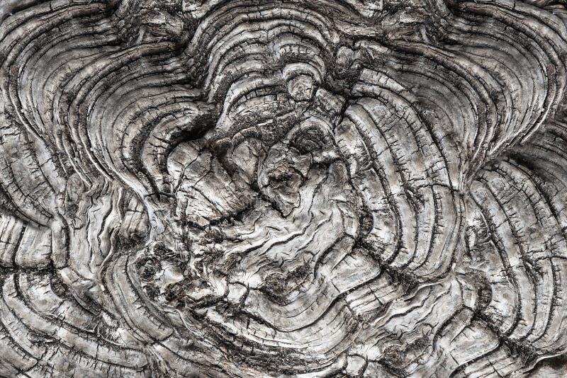 L'albero curativo concavo ed ondulato ha visto il taglio immagine stock libera da diritti