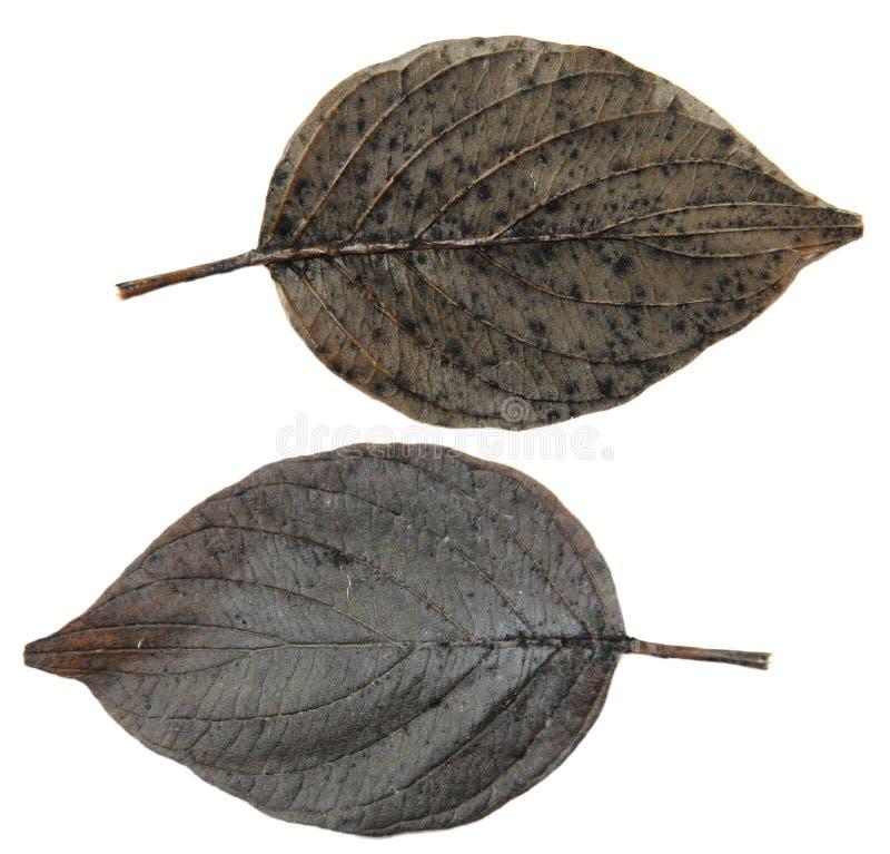 L'albero d'argento della foglia del nero asciutto del pioppo isolato va su backg bianco immagine stock libera da diritti