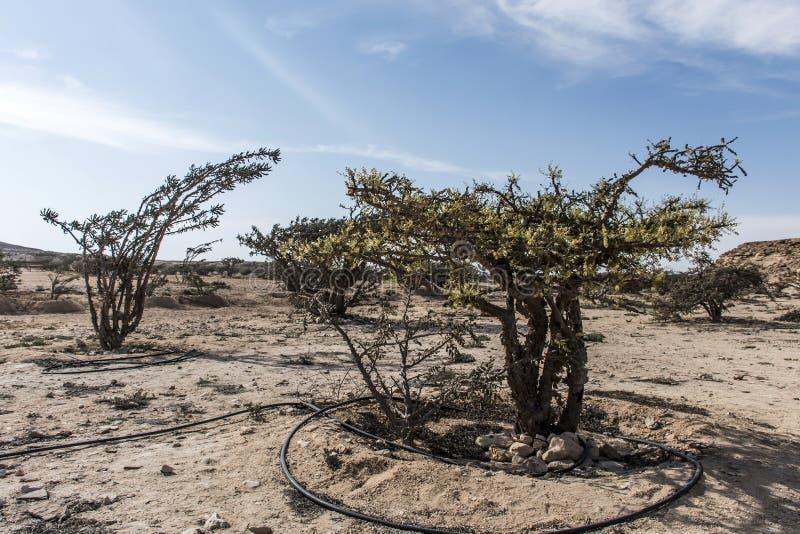 L'albero del franchincenso pianta il deserto crescente dell'agricoltura di plantage vicino a Salalah Oman fotografia stock libera da diritti