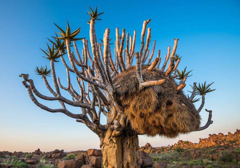 L'albero del fremito, o dichotoma dell'aloe, Keetmanshoop, Namibia fotografie stock libere da diritti