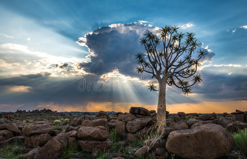L'albero del fremito, o dichotoma dell'aloe, Keetmanshoop, Namibia immagine stock libera da diritti