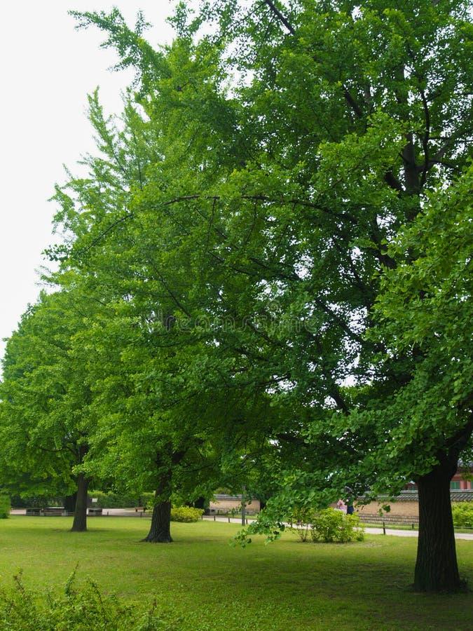 L'albero del ginkgo biloba, con le belle foglie verdi, è situato sulla terra erbosa vicino alla fonte d'acqua nella campagna immagini stock libere da diritti
