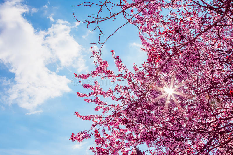 L'albero della primavera con il rosa fiorisce il fiore della mandorla su un ramo su fondo verde, su cielo blu con luce quotidiana immagine stock libera da diritti
