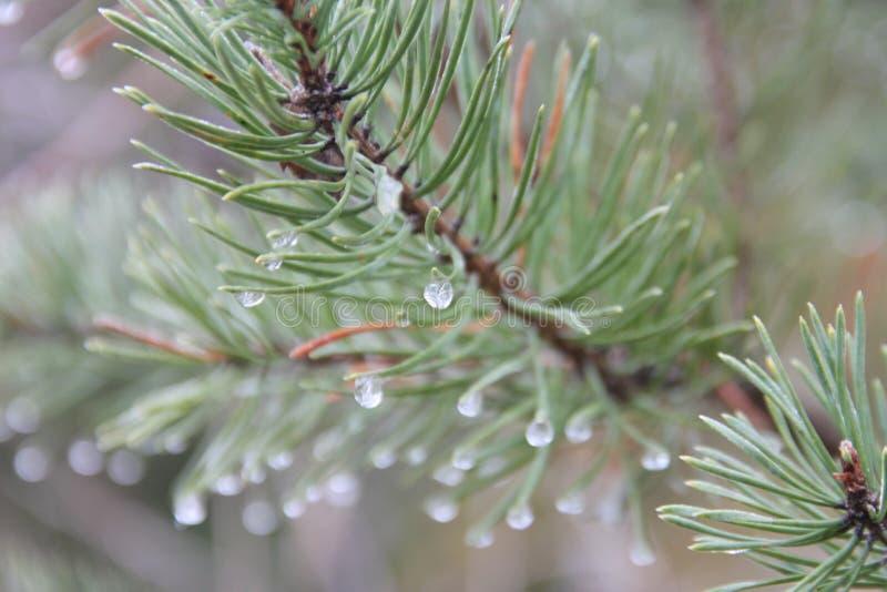 L'albero di abete va con le gocce di acqua bene dettagliate fotografia stock libera da diritti