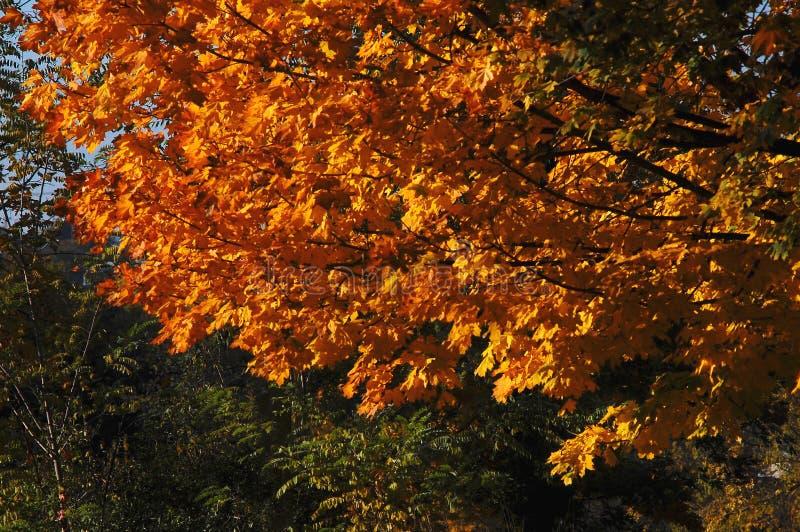 L'albero di acero di autunno con l'arancia rossa va sui precedenti degli alberi verdi al parco Giorno pieno di sole immagine stock