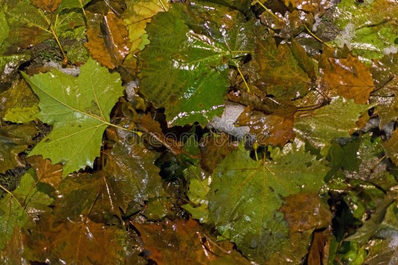 L'albero di acero caduto copre di foglie nell'inverno fotografia stock libera da diritti