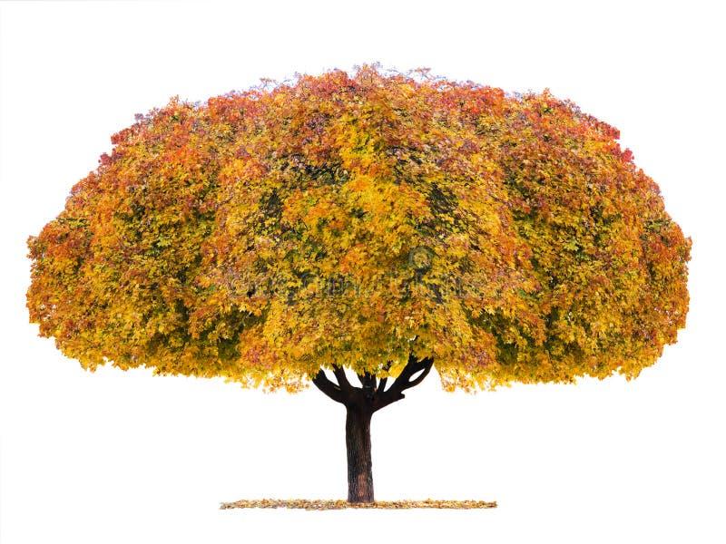 L'albero di acero giallo ha isolato fotografia stock
