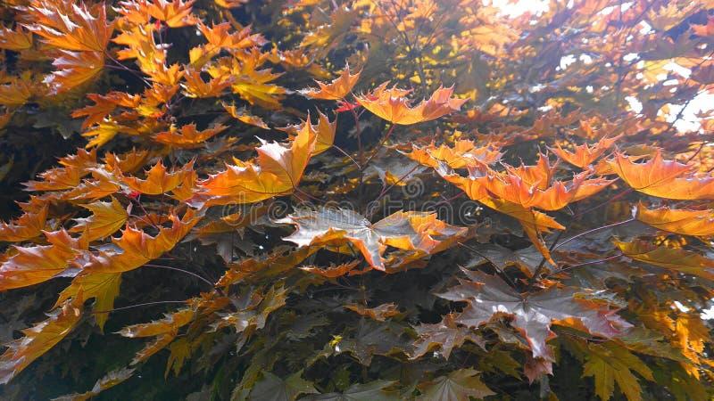 L'albero di acero rosso con le grandi e foglie luminose di mattina espone al sole vicino su Acer rubrum, l'acero rosso, anche con fotografie stock libere da diritti