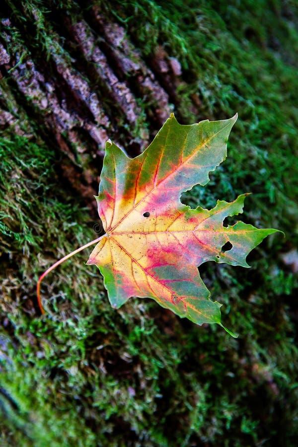 L'albero di acero tricolore va contro il tronco di albero fotografie stock