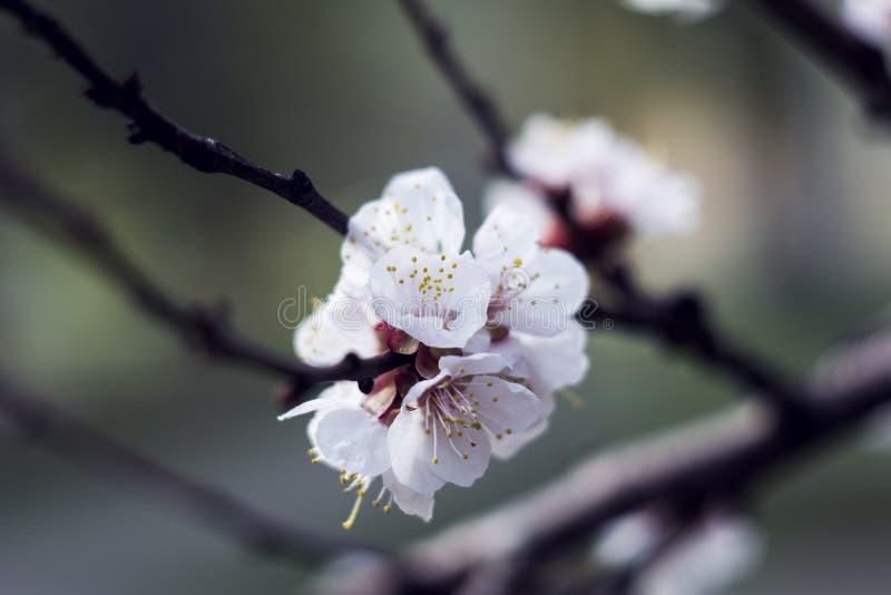 L'albero di albicocca con i germogli ed i fiori di fiore che fioriscono in primavera, retro fondo floreale d'annata con il sole r fotografia stock libera da diritti