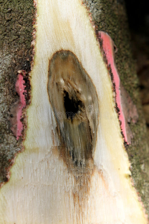 L'albero di Aquilaria ha ottenuto infettato da fungoso o da batterico immagine stock