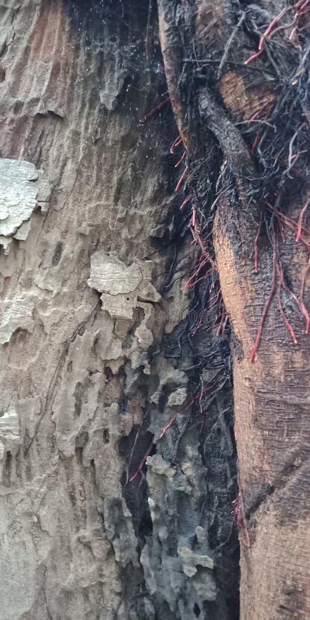 L'albero di banyan pianta e struttura la carta da parati del fondo della natura, immagini stock libere da diritti