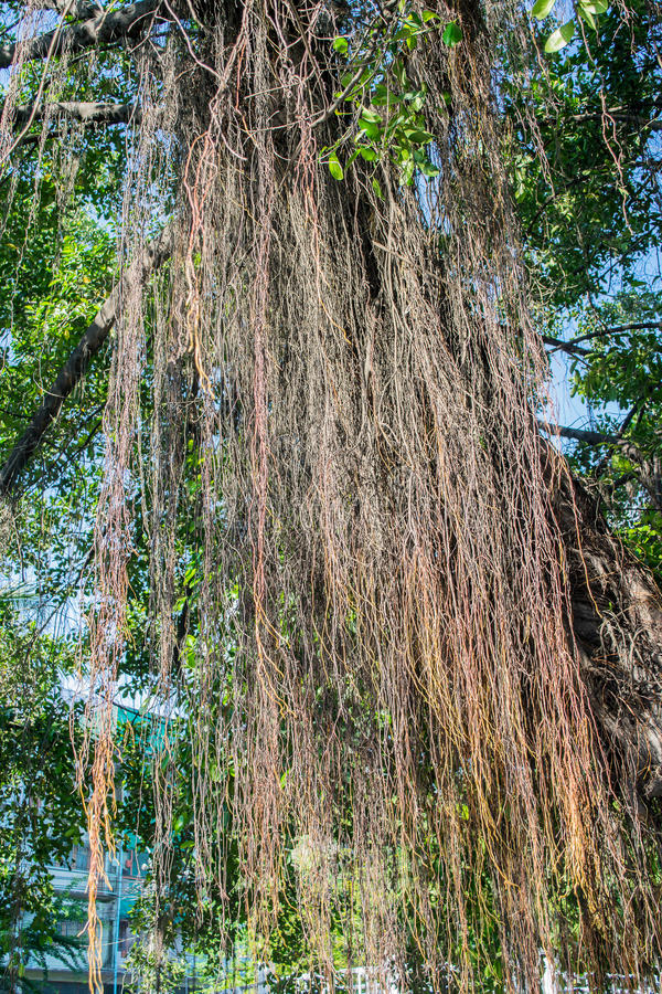L'albero di banyan pianta il fondo fotografie stock libere da diritti