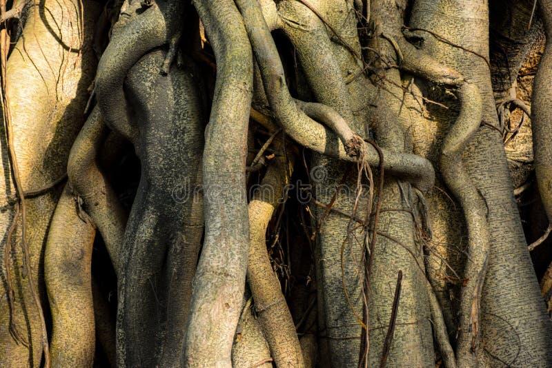 L'albero di banyan pianta il primo piano a luce solare di mattina nel Bengala Occidentale India fotografia stock libera da diritti