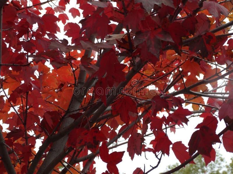 L'albero di caduta lascia i colori dell'inverno della foglia fotografie stock libere da diritti