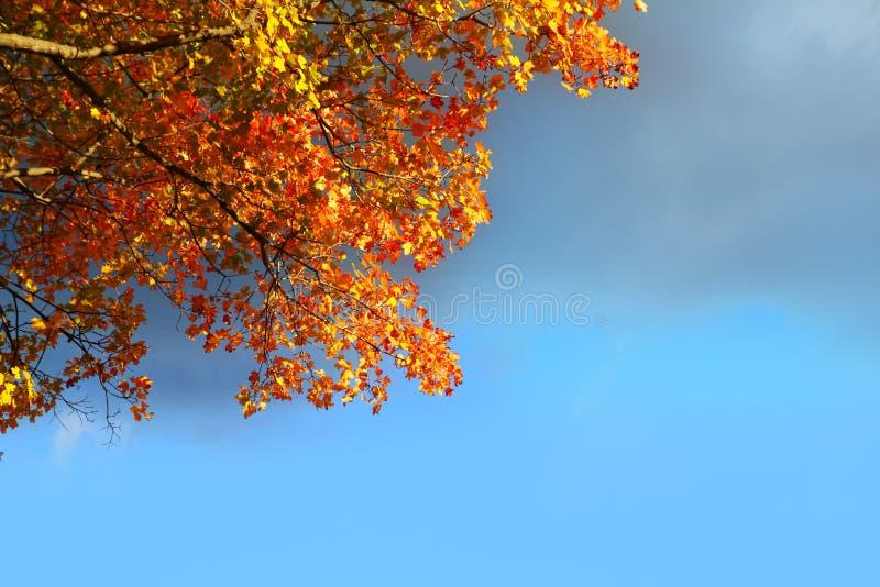 L'albero di faggio di autunno lascia il cielo blu tempestoso della nube fotografia stock libera da diritti