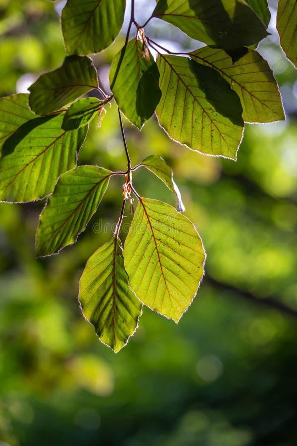 L'albero di faggio va con luce solare a primavera immagine stock