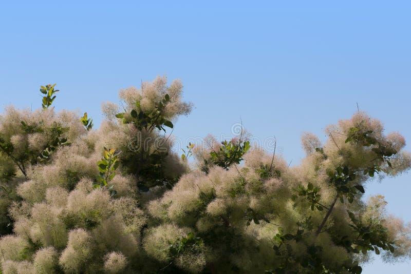 L'albero di fumo tutto il colore è altamente variabile, ma al suo meglio produce le tonalità attraenti della foto gialla, arancio immagine stock