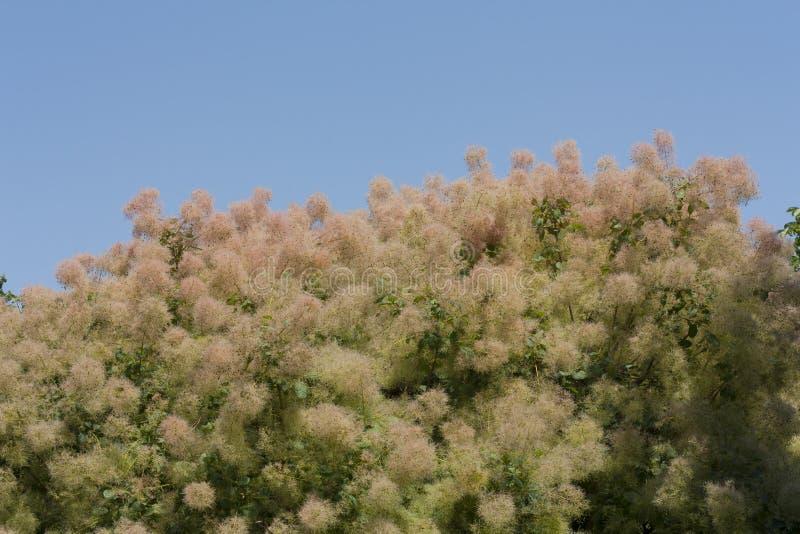 L'albero di fumo tutto il colore è altamente variabile, ma al suo meglio produce le tonalità attraenti della foto gialla, arancio immagini stock