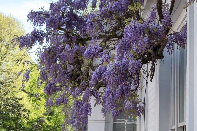 L'albero di glicine in piena fioritura che cresce fuori di un bianco ha dipinto la casa in Kensington Londra fotografia stock libera da diritti