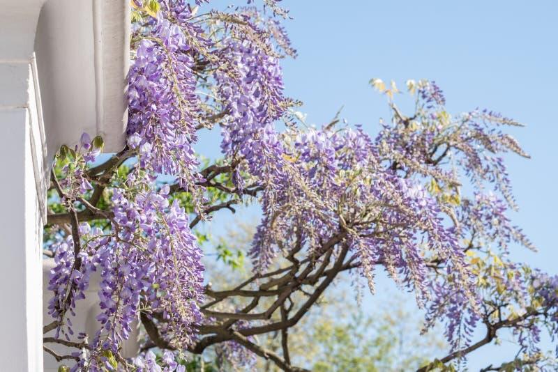L'albero di glicine in piena fioritura che cresce fuori di un bianco ha dipinto la casa in Kensington Londra fotografie stock