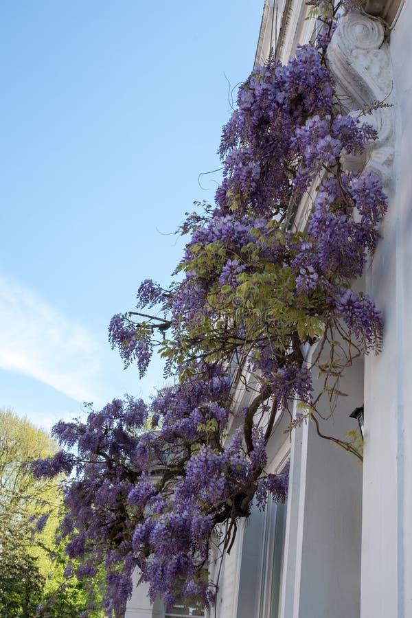 L'albero di glicine in piena fioritura che cresce fuori di un bianco ha dipinto la casa in Kensington Londra fotografia stock