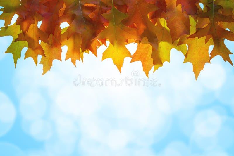 L'albero di quercia d'attaccatura lascia la priorità bassa del cielo fotografia stock libera da diritti