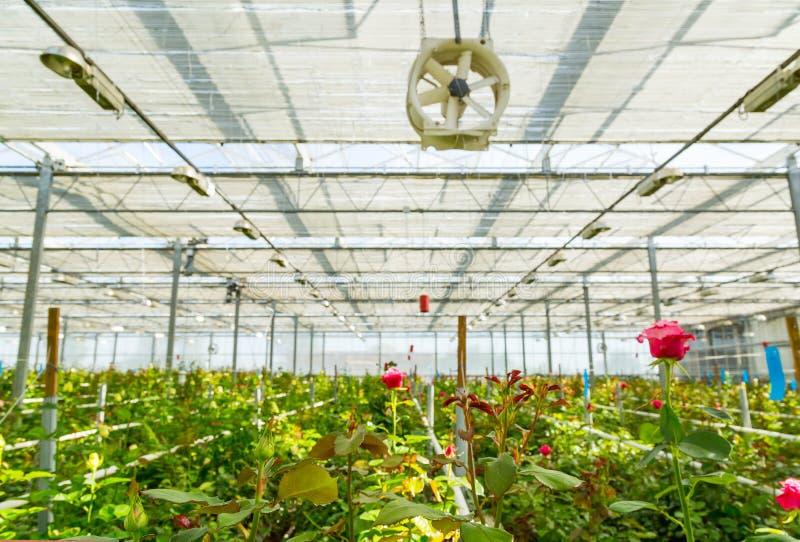 L'albero di Rosa si sviluppa in serra moderna nell'ambito di growlight artificiale fotografia stock