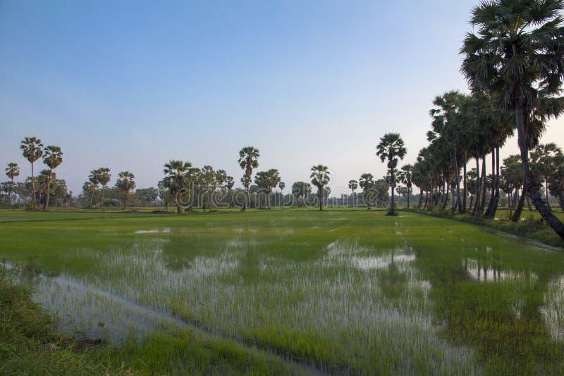 L'albero ed il riso della palma da zucchero sistemano in Phetchaburi immagine stock libera da diritti