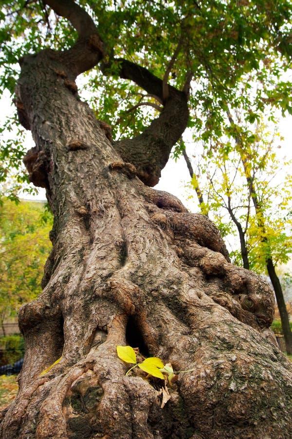 L'albero elemosinato durante la caduta del foglio fotografie stock