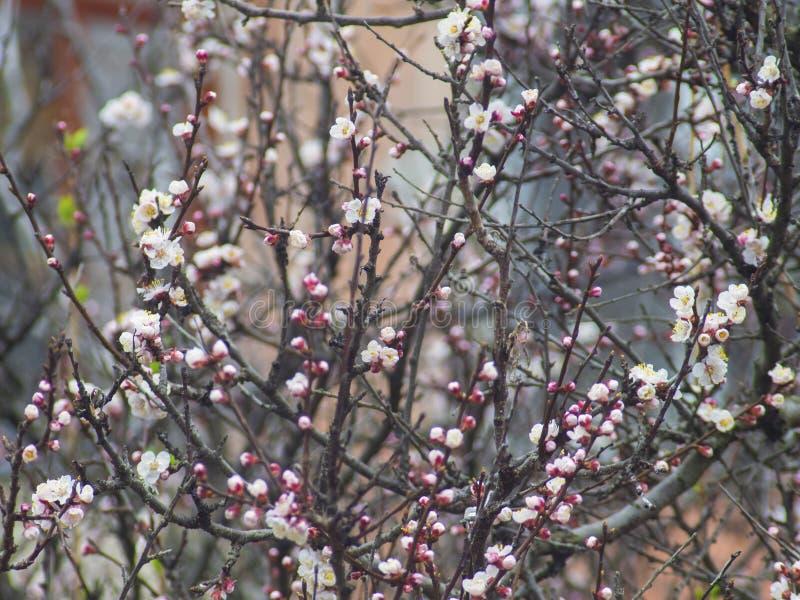 L'albero fruttato sboccia molto piacevole e meravigliosamente fotografia stock