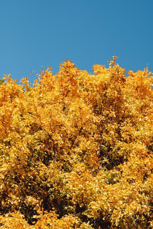 L'albero giallo del paesaggio di autunno incorona il cielo blu fotografia stock libera da diritti
