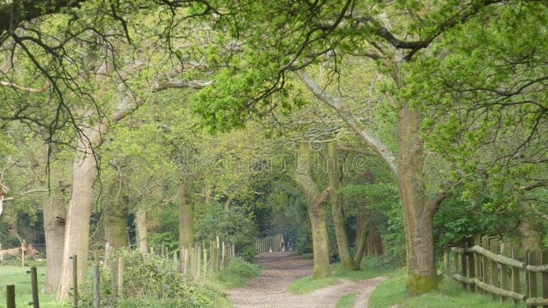 L'albero ha allineato il viale al parco nazionale 3 di Havering immagini stock libere da diritti