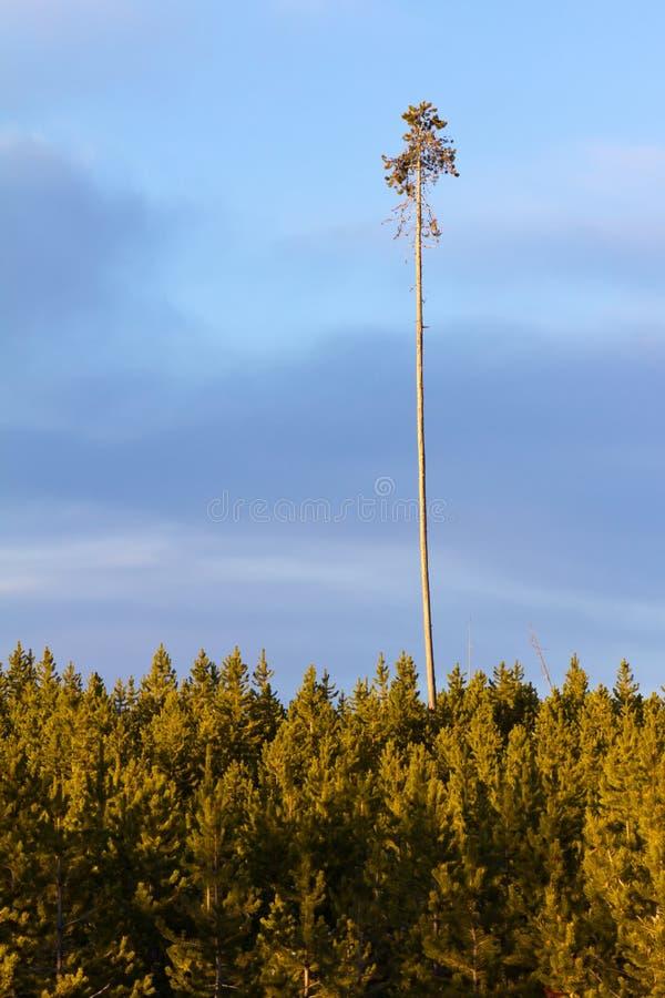 L'albero indistruttibile è un superstite dell'incendio forestale immagine stock libera da diritti